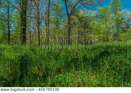 Colorful Scene In Spring With Crimson Clover Covering A Field With Trees Flowering And New Foliage I