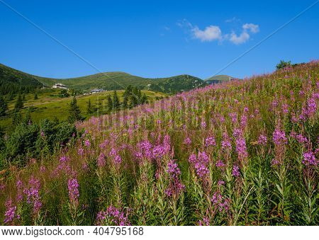 Pink Blooming Sally And Yellow Hypericum Flowers On Summer Mountain Slope. In Far - Pozhyzhevska Wea