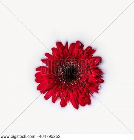 Red Gerbera Or Barberton Daisy Flower Head In Milk Bath Water. Beauty Spa, Relaxation Or Wellness Tr