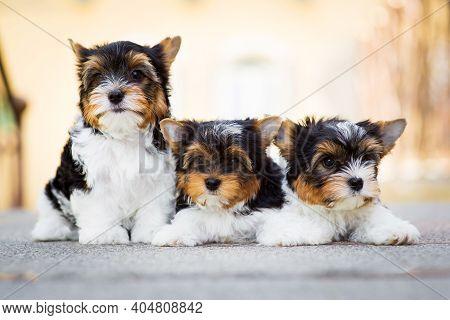 Three Yorkshire Terrier Puppy On The Floor