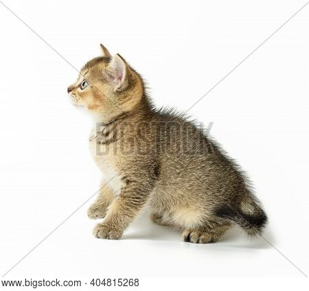 Kitten Golden Ticked British Chinchilla Straight Sits On A White Background, Close Up