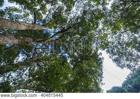 Tall Forest Trees Tower From Path Below Overhead Converging Into Forest Canopy.in South Island Rain