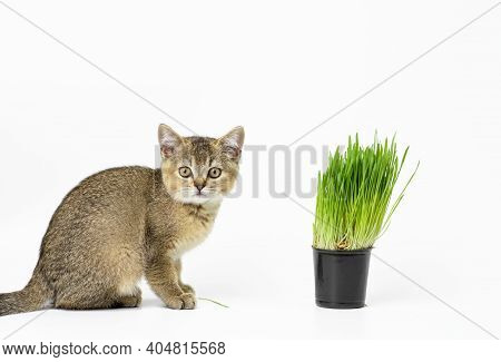 Kitten Golden Ticked British Chinchilla Straight Sits On A White Background, Next To A Pot Of Growin