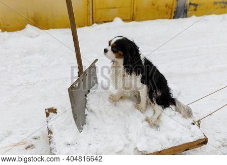 Snow Removal With A Shovel Using A Sled In The Driveway Near The Garages. The Cavalier King Charles