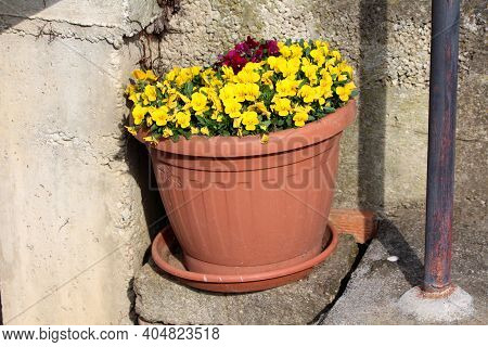 Yellow And Dark Red Wild Pansy Or Viola Tricolor Or Johnny Jump Up Or Heartsease Or Hearts Ease Or H