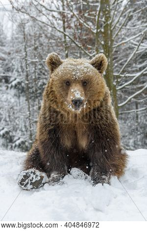 Close-up Brown Bear Sitting In A Funny Pose In Winter Forest. Danger Animal In Nature Habitat. Big M