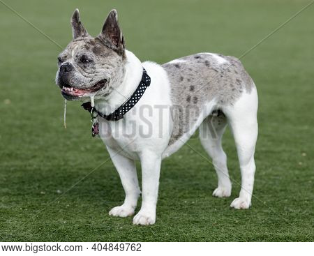 Blue Merle And White Frenchie Bulldog Female Puppy Standing And Drooling. Off-leash Dog Park In Nort