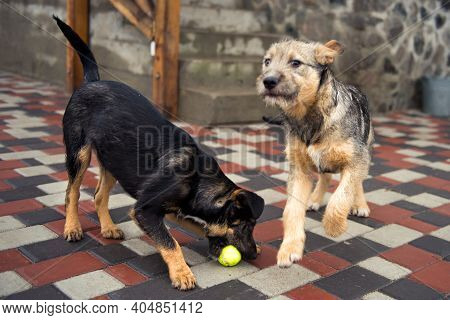 Homeless Little Playful Puppys Play With Green Ball In Animal Shelter Waiting For Family To Adopt Do