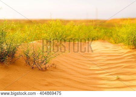 Desert Plant. Camel Thorn Plant. Green Bush In The Desert. Green Grass On Dried Ground. Desert Soil.