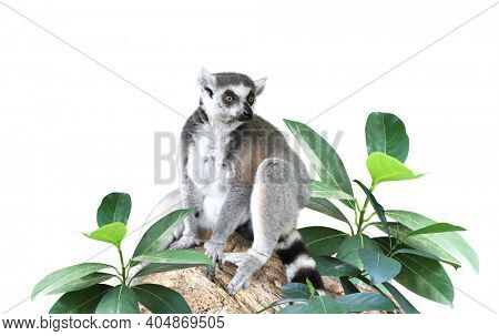 Ringtailed lemur and leaves of tropical plant. Green leaf and  lemur catta. Isolated on white background