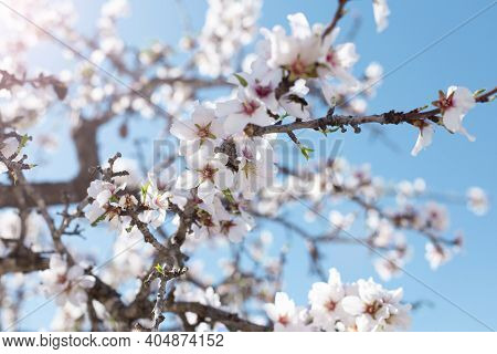 Spring Blossom Background. Beautiful Nature Scene With Blooming Tree On Sunny Day. Spring Flowers. B