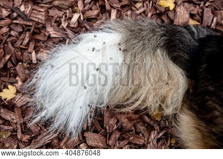 Dog With Painfull Burs Into His Fur, Walk Into The Nature, Burdocks