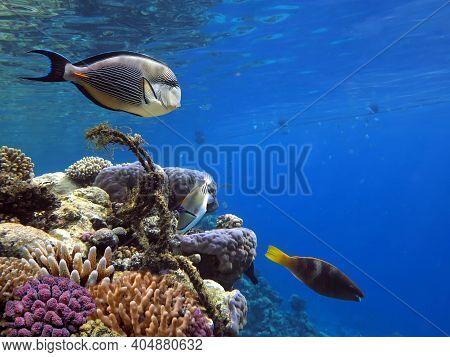Arabian Surgeonfish Acanthurus Sohal In Red Sea