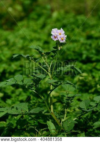 The First Blooming Potato Plant, Potato Pale Purple Flower Against The Green Leaves Of Numerous Pota