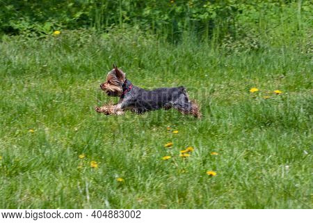 The Little Yorkshire Terrier Is Jumping And Flying Over A Green Meadow.