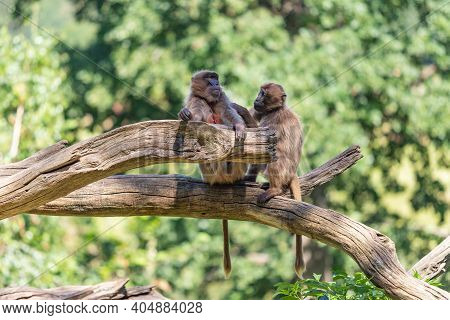 Close-up Of Two Gelada Baboon Monkeys Sitting On An Old Tree.