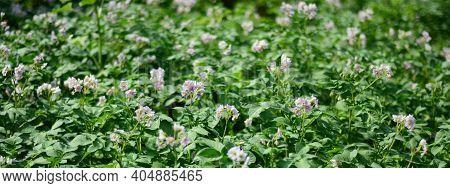 Growing Potatoes: Blooming Potato Plants Before Harvesting. Potato Flowering Background.