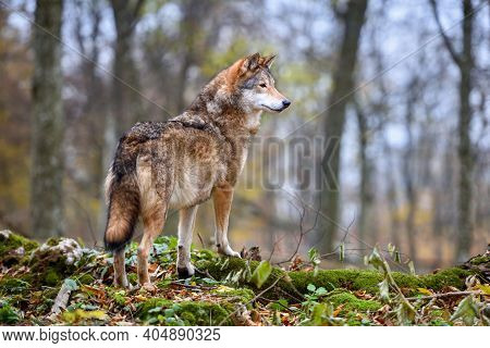Wolf (canis Lupus) In Autumn Forest. Grey Wolf In Natural Habitat