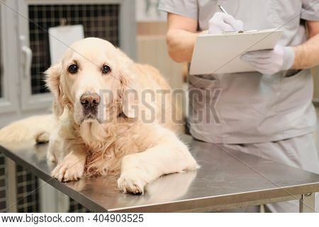 Close-up of domestic dog looking at camera while lying on the table during visit at vet clinic