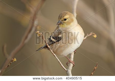American Goldfinch In Autumn Plumage