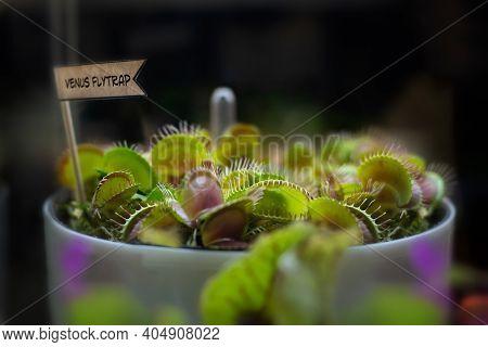 Venus Flytrap In A Large Pot. Growing Dionaea Muscipula, Carnivorous Plant Insect Trap