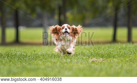 Funny Young Cavalier King Charles Spaniel Dog Running And Jumping  On Green Grass At Nature.