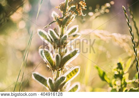Lupine In Summer Meadow At Sunset Sunrise. Lupinus, Commonly Known As Lupin Or Lupine, Is A Genus Of