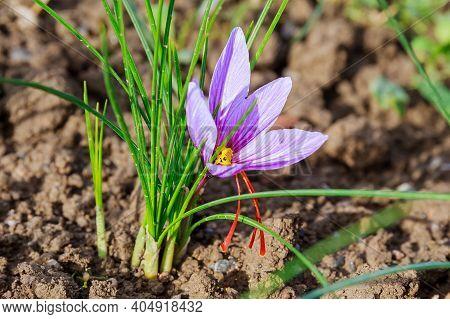 Close Up Of Saffron Flowers In A Field. Crocus Sativus, Saffron Crocus, Delicate Saffron Petals