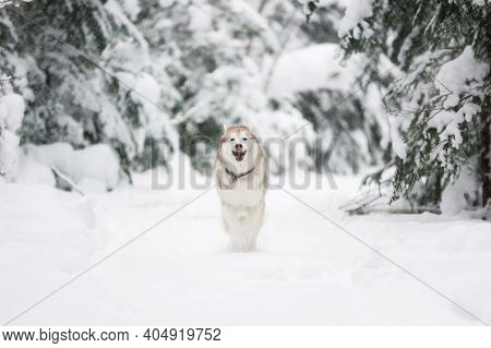 Portrait Of Siberian Husky Dog Running In The Snowy Winter Forest.