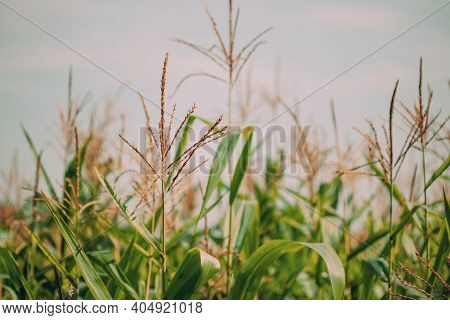 Rural Landscape Maize Field With Corn Sprouts. Young Green Cornfield Plantation. Agricultural Crop