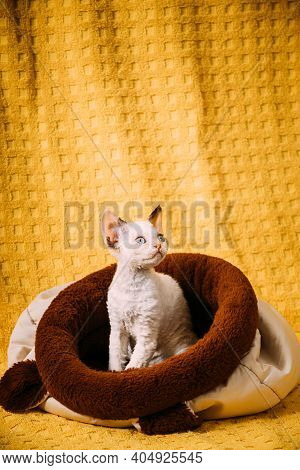 Funny Young Small Little White Devon Rex Kitten Kitty Resting Posing In Warm Bag Bed. Short-haired C