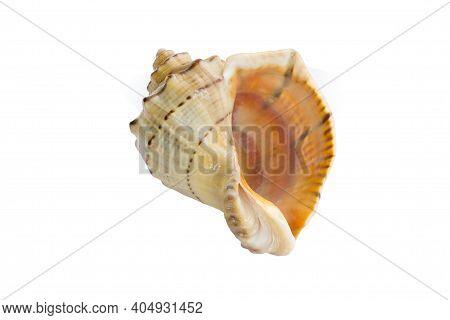 Big Light Bright Yellow Orange Gastropod Seashell Close-up On White