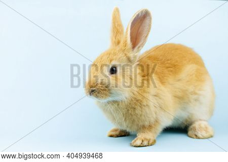 Little Ginger Rabbit Sits On A Pastel Blue Background With Copy Space. Easter Bunny Close Up. Concep