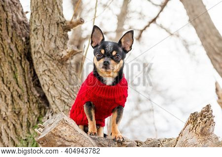 Pedigree Dog Chihuahua Clothing Outdoors. Dressed Chihuahua. Portrait Of Dog In Stylish Red Clothes