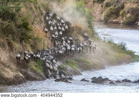 Wildebeest scramble up the banks of the Mara River, during the annual great migration. Masai Mara, Kenya.