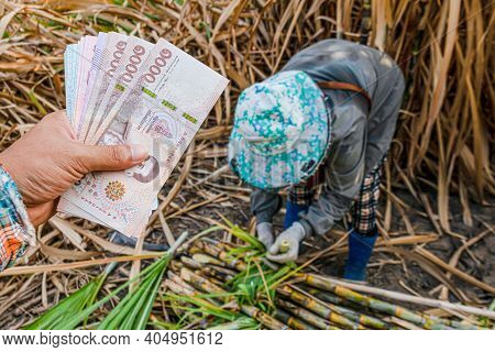 Money In Hand Sugarcane Farmers, Banknote Money Thai Baht In The Hand At Sugarcane Plantation Field