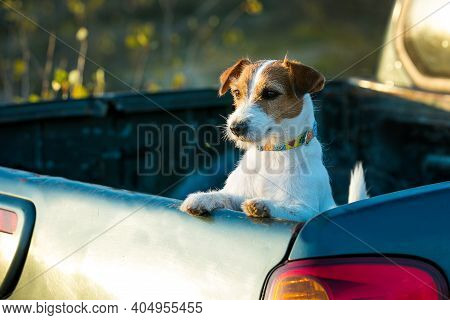 Jack Russell Terrier Portrait. The Dog Is Very Interested In Something He Saw In The Distance.