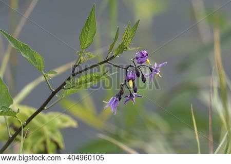 Solanum Dulcamara Is A Species Of Vine In The Potato Genus Solanum, Family Solanaceae. , Beatiful Ph