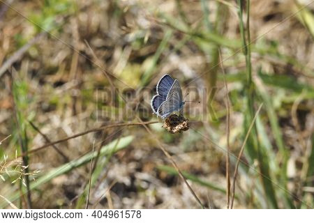The Short-tailed Blue Or Tailed Cupid (cupido Argiades) Is A Butterfly That Forms Part Of The Family