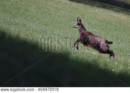 Single Chamois Running Up A Hill On Grass Field With Flowes In Spring.