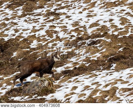 Alpine Chamois Or Rupicapra Rupicapra Climbing Over Rock Looking Into Camera With Melting Snow In Ba