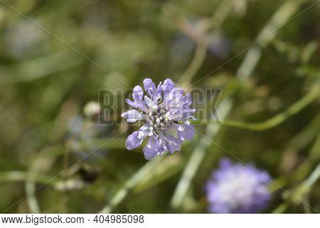 Transylvanian Scabious - Latin Name - Cephalaria Transylvanica