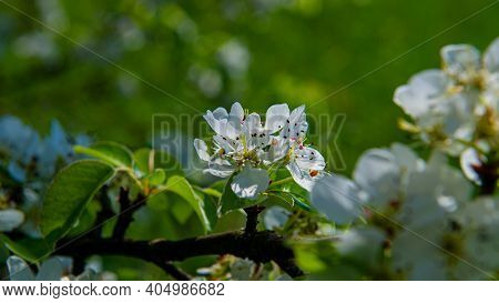 Blooming Flowers On A Pear Tree Branch. Web Banner. Spring Season. Ukraine. Europe.