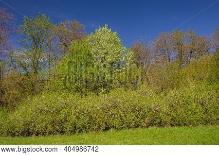 Meadow And Deciduous Forest Are Overgrown With Flowering Blackthorn Bush. Spring Season. Web Banner.