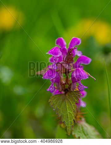 Flowering Plant With Pink Flowers In The Meadow. Spring Season.