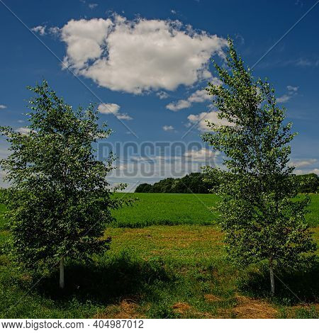 Birch Trees On The Background Of A Wheat Field On A Sunny Day. Spring Season.