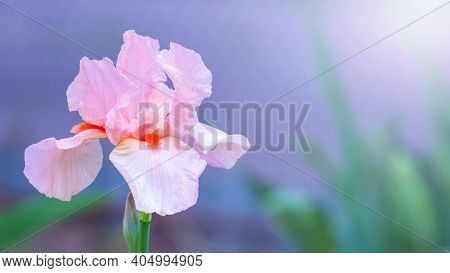 Pink Iris Close Up On A Blue Background
