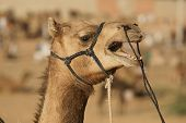 Vocal camel at the annual Pushkar fair in Rajasthan India poster
