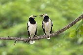 Black-collared Starling : Sturnus  nigricollisIt is migratory birds in the winter. poster