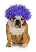 funny clown dog - english bulldog wearing purple clown wig on white background poster
